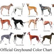Greyhound Colour Chart